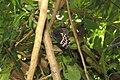 Papilio polymnestor Cramer, 1775 – Blue Mormon at Mayyil.jpg
