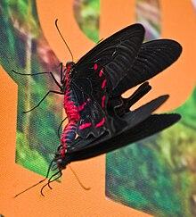 Papilio rumanzovia5.jpg