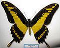 Papilio thoas 2.JPG