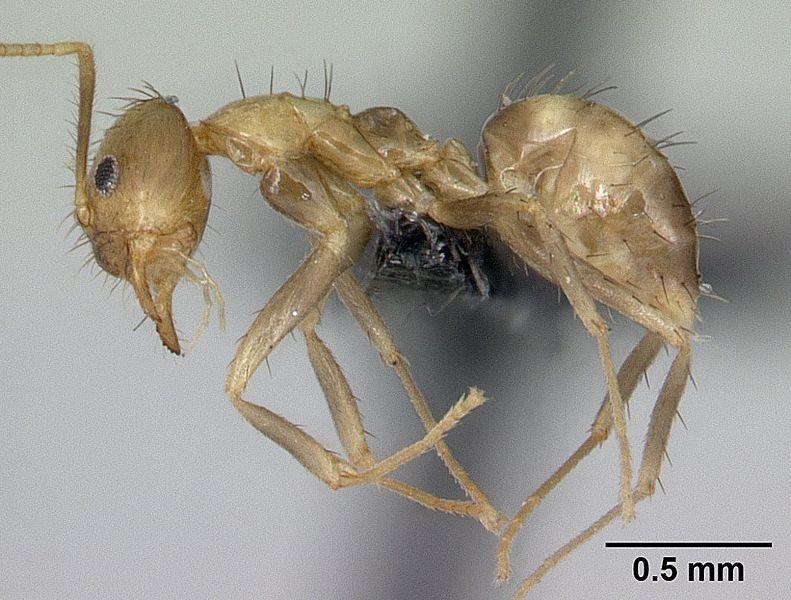 Profile view of ant Paratrechina madagascarensis specimen casent0132934.