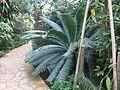 Parc Olbius Riquier (Greenhouse) - Encephalartos 2.jpg