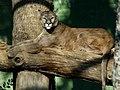 Parco Faunistico Le Cornelle (Puma) - panoramio.jpg