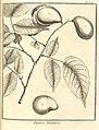 Parivoa tomentosa Aublet 1775 pl 304.jpg