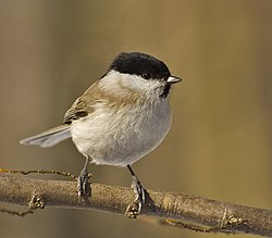 Parus palustris02.jpg