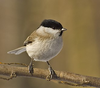 Tit (bird) - The marsh tit was once placed in the genus Parus, but has now been moved to the genus Poecile.