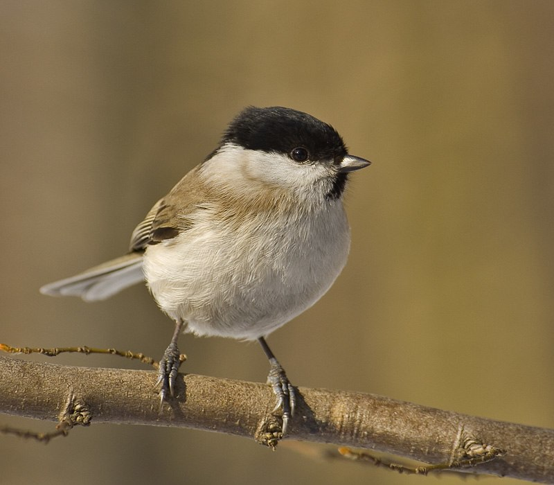 Parus palustris02