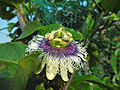 Passiflora edulis flower in Hong Kong Mar 9 2013 2nd image.JPG