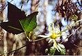 Passiflora herbertiana.jpg