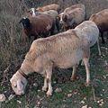 Pastura de cabres i ovelles03.JPG