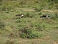 Pavo cristatus Yala National Park 2017-10-26 (2).jpg