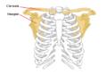 Pectoral girdle front diagram RO.png