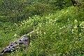 Pedicularis yezoensis 06.jpg