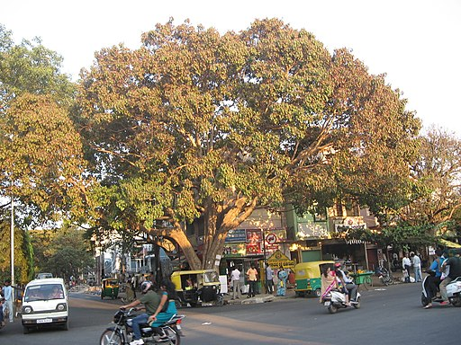 Peepal tree at the junction of 27th Cross and Kanakapura Road. Photo credit: rednivaram/WIkimedia Commons [Licensed under CC-by-SA 3.0]