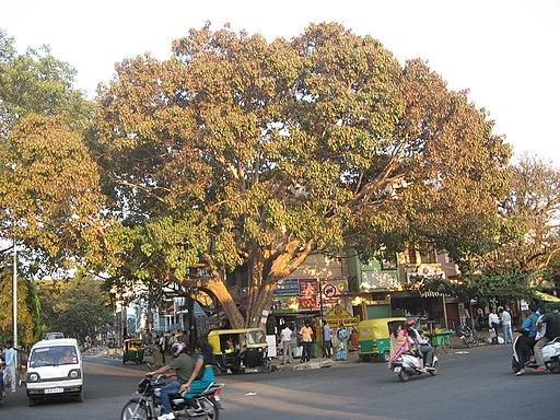 Peepal tree at junction of 27th Cross and Kanakapura Road - panoramio