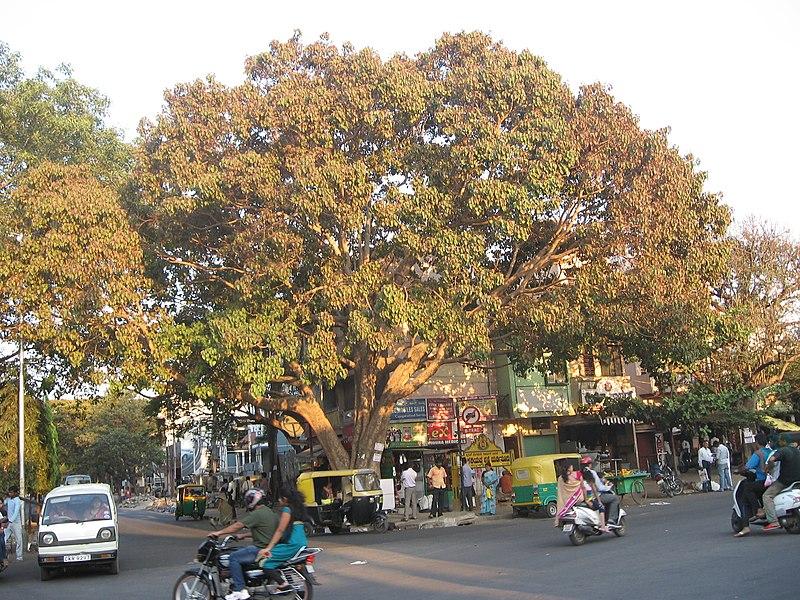 File:Peepal tree at junction of 27th Cross and Kanakapura Road - panoramio.jpg