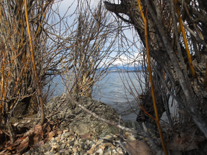 Braeloch - Peering through Undergrowth at the Lake Okanagan Shore line in Early Spring at the Braeloch Beach Access