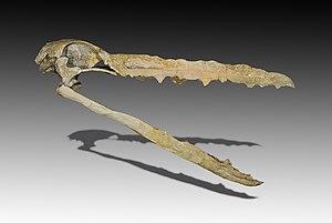 Odontoanserae - Image: Pelagornis mauretanicus