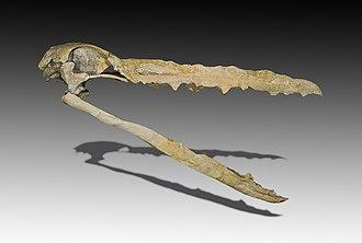 Pelagornithidae - Skull of Pelagornis mauretanicus