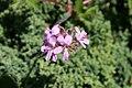 Pelargonium capitatum 1zz.jpg