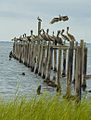 Pelicans Hanging Out By Carole Robertson.jpg