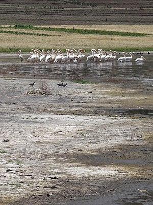 Lake Ashenge - Pelicans and Salted Grass - Shore of Lake Hashenge - Ethiopia