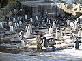 Penguins Nesting at Edinburgh Zoo.jpg