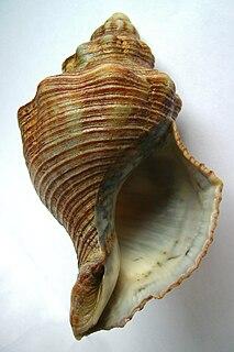 <i>Penion sulcatus</i> species of mollusc