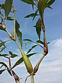 Persicaria lapathifolia sl2.jpg