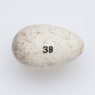 Black robin - Petroica traversi egg from the collection of Auckland Museum