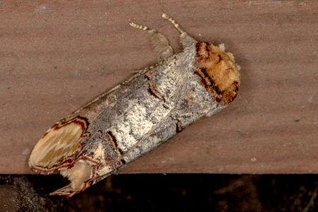Phalera bucephala, Lodz(Poland)03(js).jpg