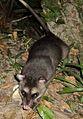 Philander opossum.jpg