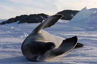 Crabeater seal - Image: Phoque crabier Crabeater Seal
