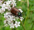 Phyllopertha horticola.Garden Chafer. Cetoniinae. Scarabaeidae - Flickr - gailhampshire (1).jpg