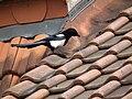 Pica pica auf Hausdach.JPG