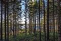 Picea abies forest at Vézoles Lake.jpg
