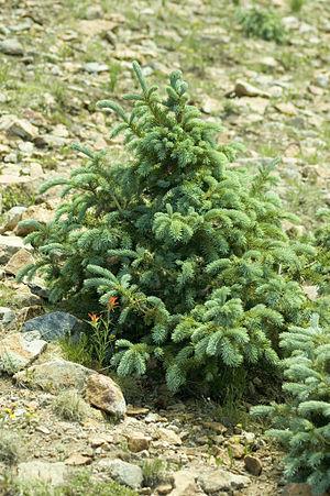 Picea engelmannii - Image: Picea engelmannii Sierra Blanca NM
