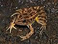 Pickerel Frog (Rana palustris) (26752825317).jpg