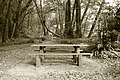 Picnic table in a myrtlewood grove at Alfred A. Loeb State Park.jpg
