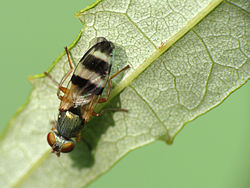Picture-winged Fly (7469978046).jpg