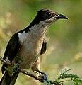 Pied Cuckoo (Clamator jacobinus) in AP W2 IMG 3978.jpg