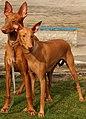 Pies faraona e34 corected parka.jpg
