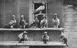 Pigeons voyageurs.jpg