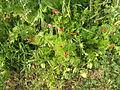 PikiWiki Israel 29884 Plants of Israel.JPG