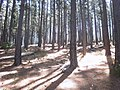 Pine Plantations at Newlands Forest - Cape Town 3.JPG