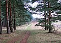 Pine trees on the Peddars Way - geograph.org.uk - 1701437.jpg