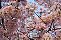 Pink Cherry Blossoms.jpg