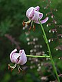 Pink Lily Lilium sp Pair 2068px.jpg