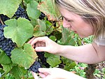 Pinot noir in Bourgogne with clear leaf image.jpg