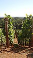 Pinot noir vineyard in the Dundee hills AVA of Oregon.jpg
