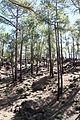 Pinus canariensis Tenerife Chio TF-36 pine forest Los Hoyos IMG 4836.JPG